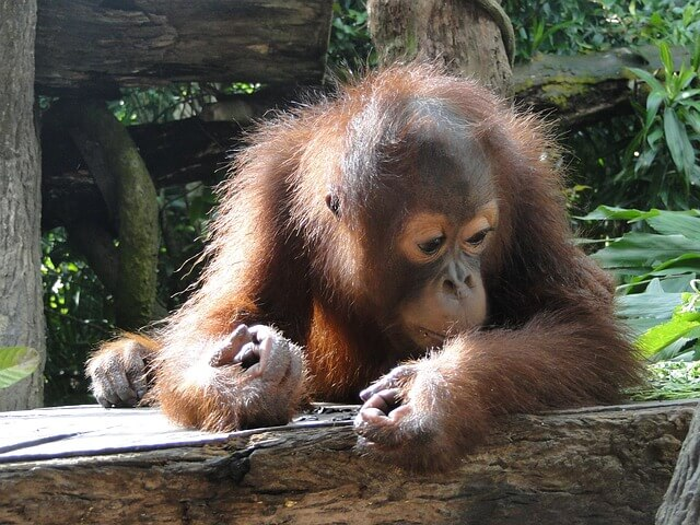 Orangutans will most likely only be found in zoos within the next decade.